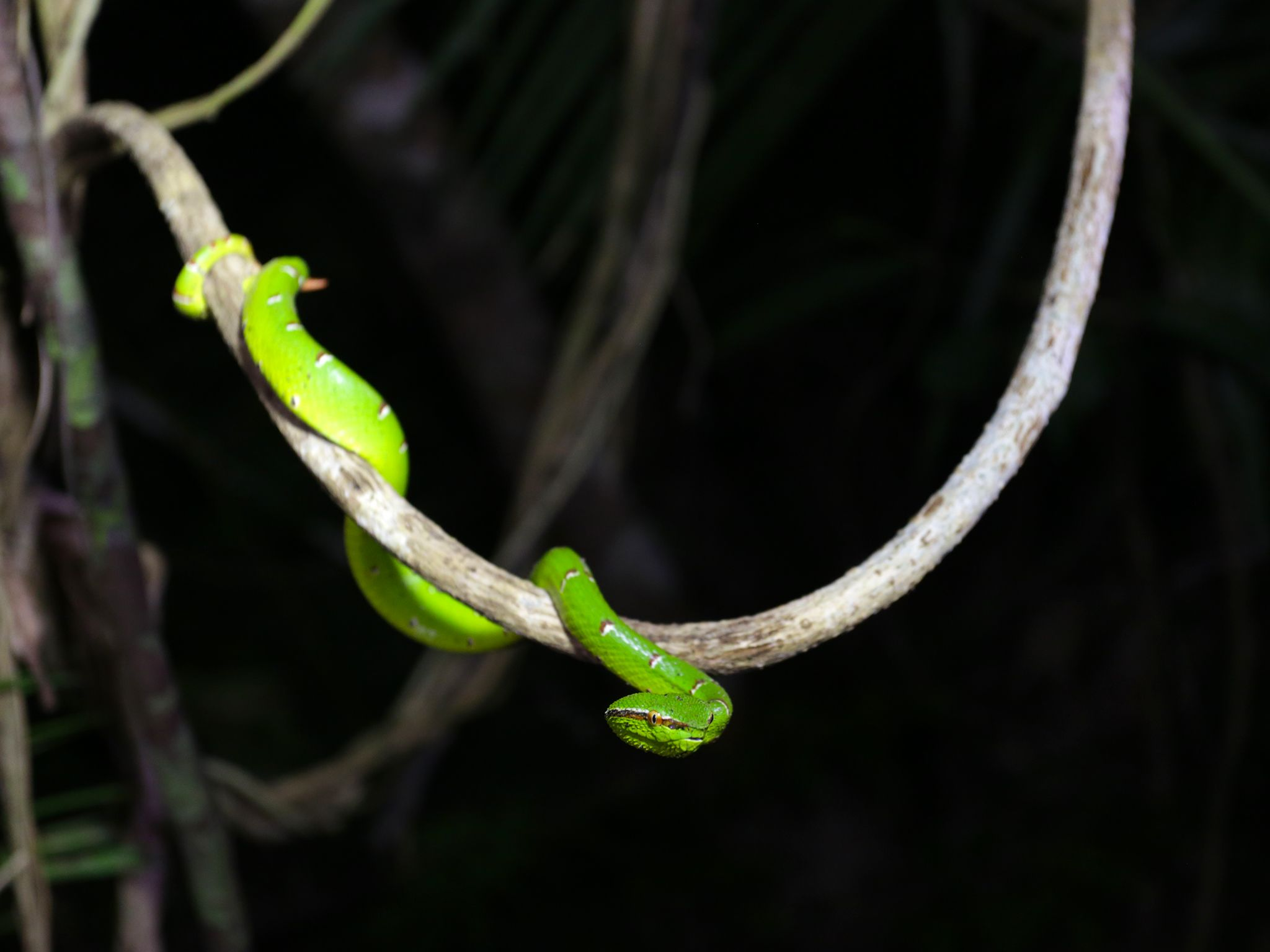 Palawan, Philippines:  Palawan pit viper.  This image is from Untamed Philippines. [Photo of the day - June 2020]
