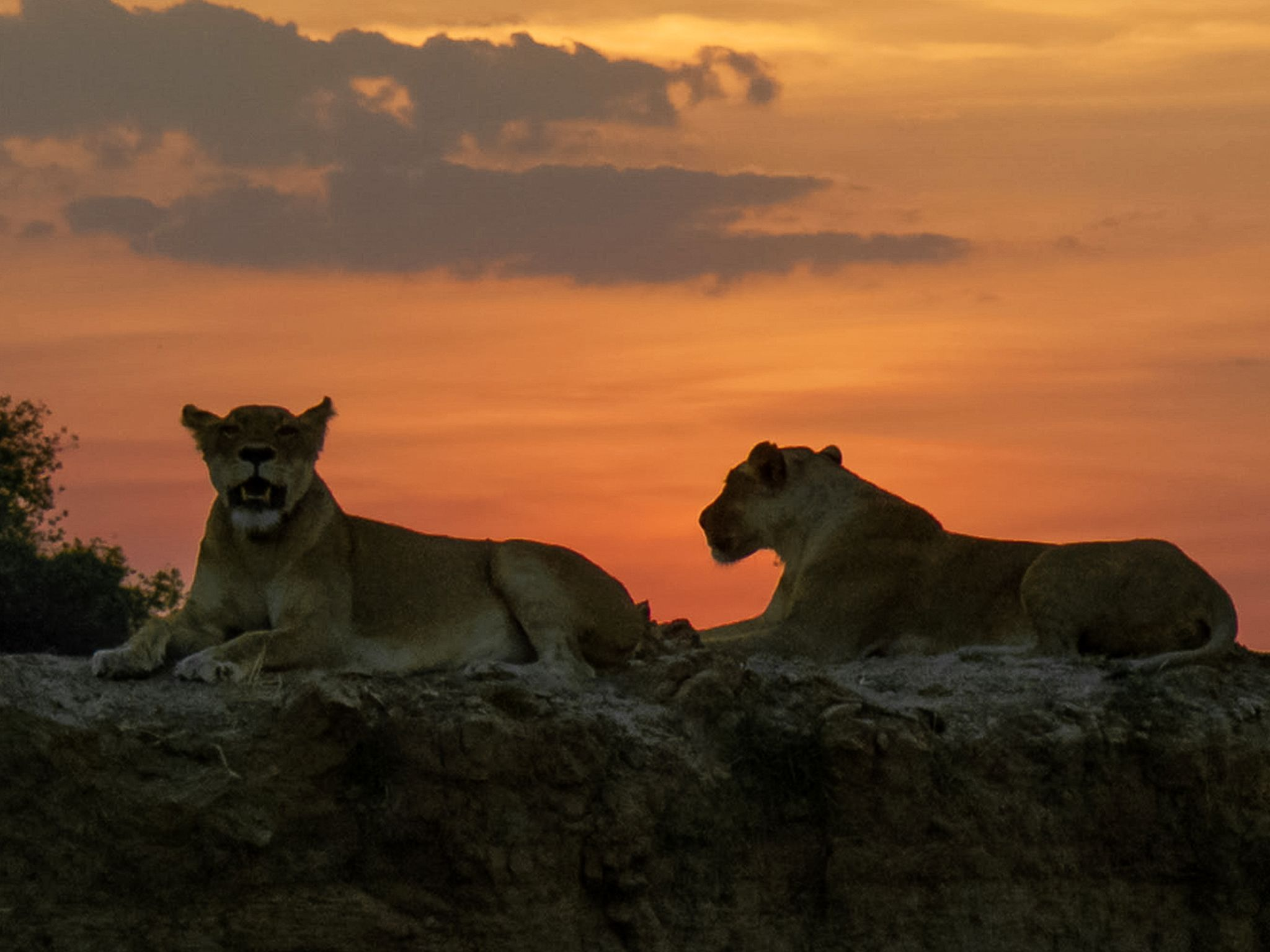 Two lionesses resting on top of river bank at sunset.  This image is from Predator Land. [Photo of the day - June 2020]