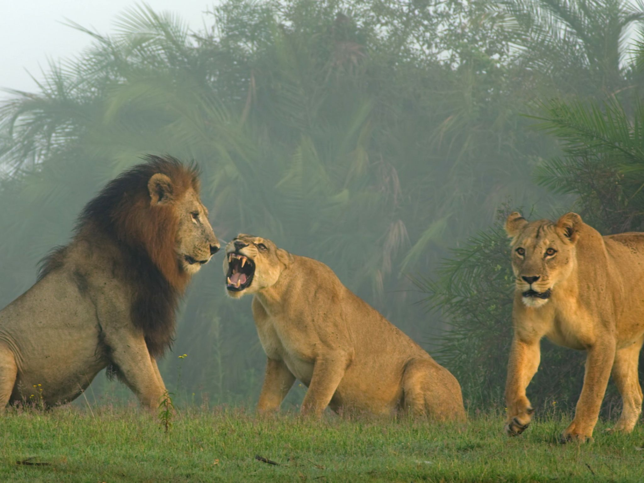 Lioness anger. This image is from Savage Kingdom. [Photo of the day - June 2020]