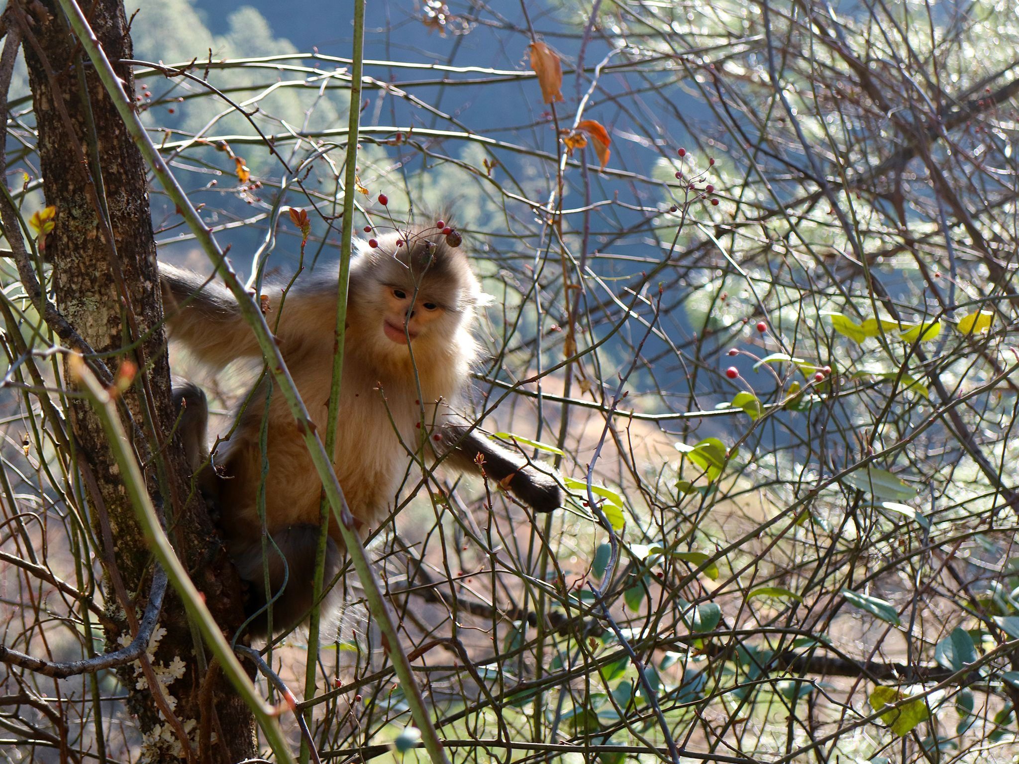 Baima Snow Mountain Nature Reserve, Yunnan:  Juvenile Yunnan snub nosed monkey in a tree.... [Photo of the day - June 2020]
