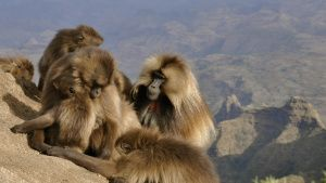 A group of gelada baboons gathered... [Photo of the day -  1 JUNE 2020]