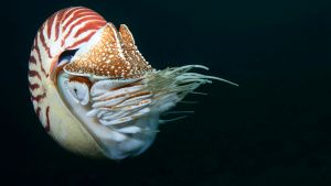 Chambered nautilus.  This image is... [Photo of the day -  2 JUNE 2020]