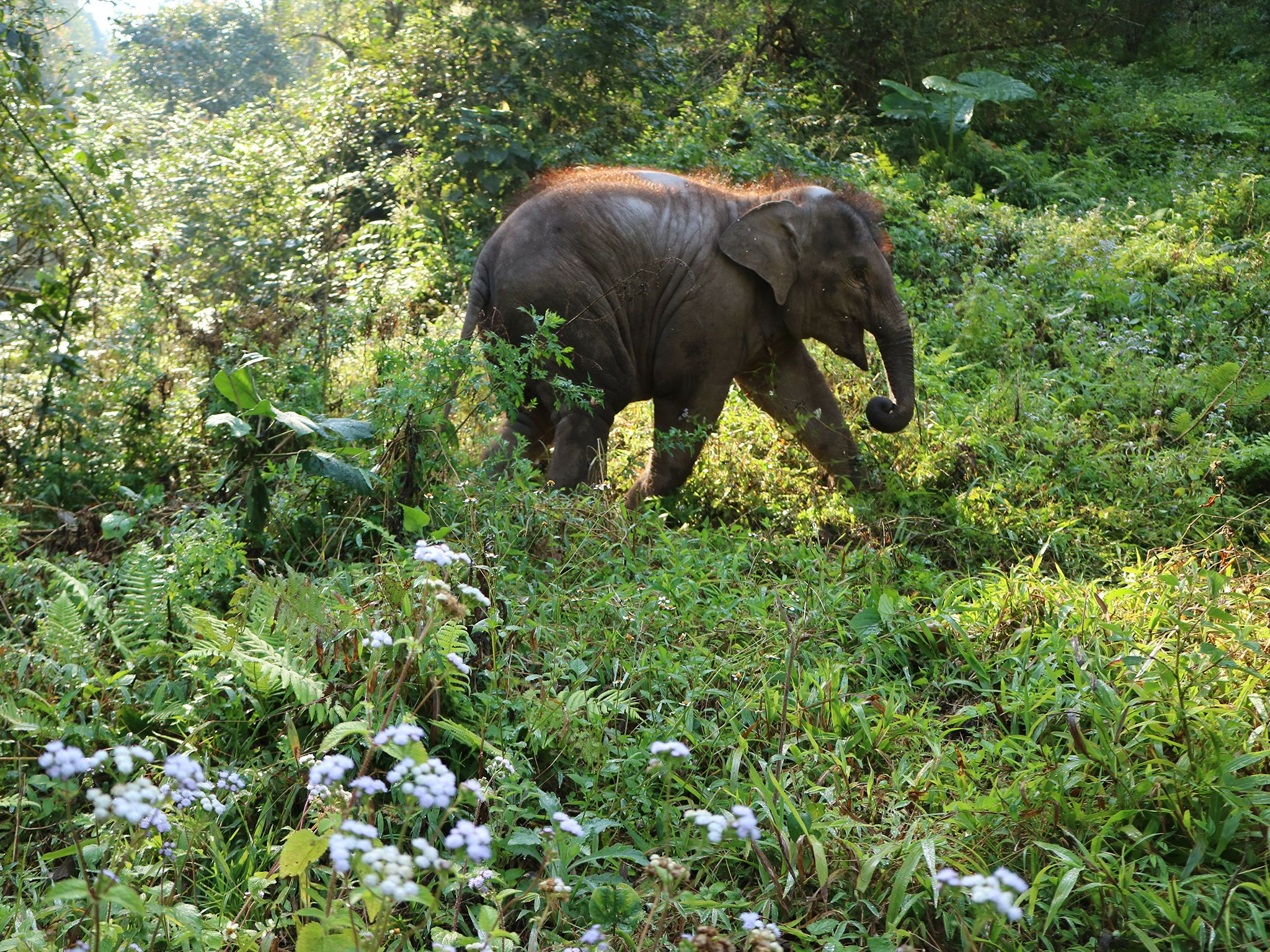 Xishuangbanna Wild Elephant Park, Yunnan:  Baby Asian elephant in the wild.  Yunnan is home to... [Photo of the day - June 2020]