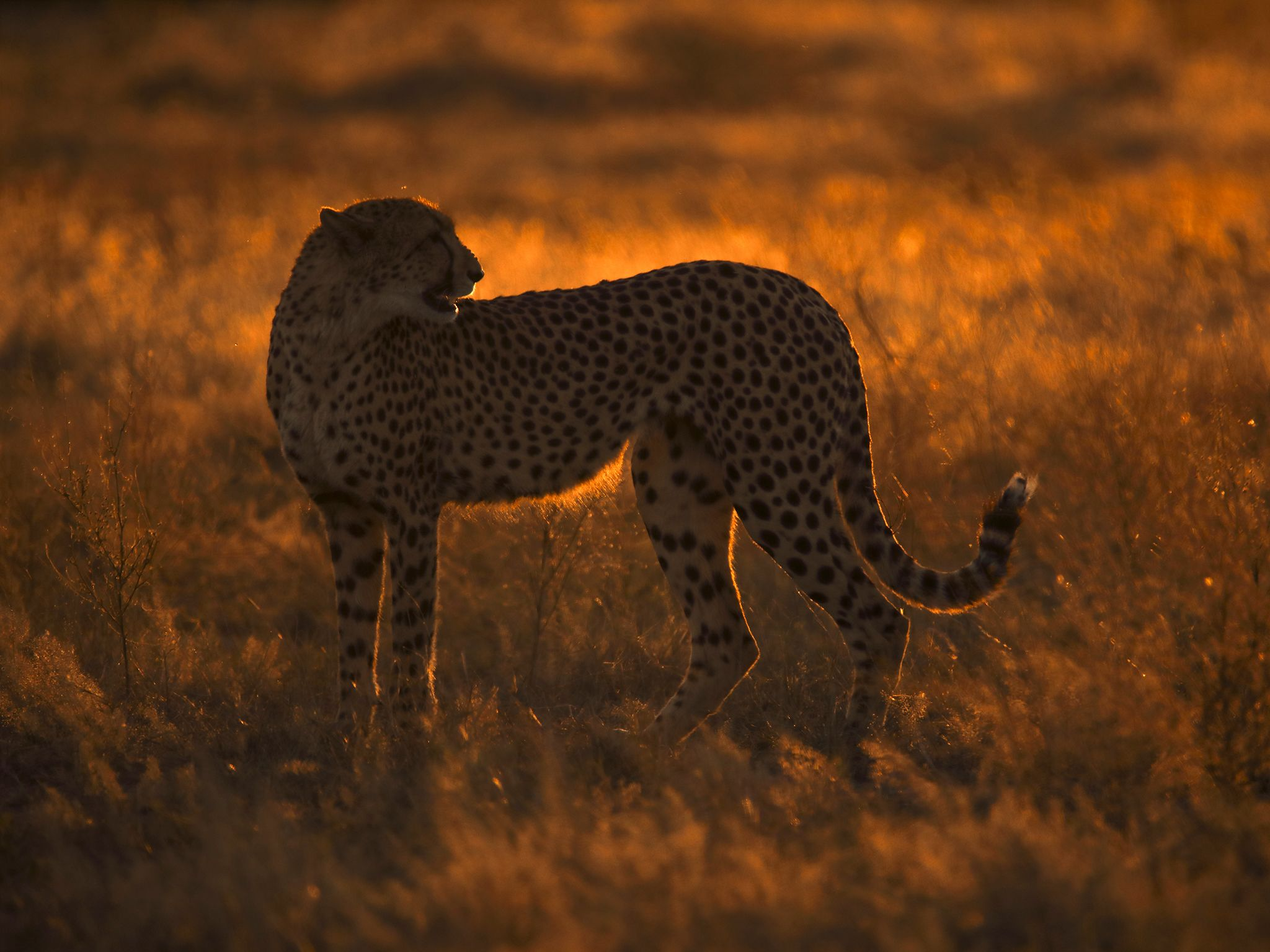 Okavango Delta, Botswana:  Mother Cheetah, silhouetted in the early morning sunrise, calls out... [Photo of the day - June 2020]
