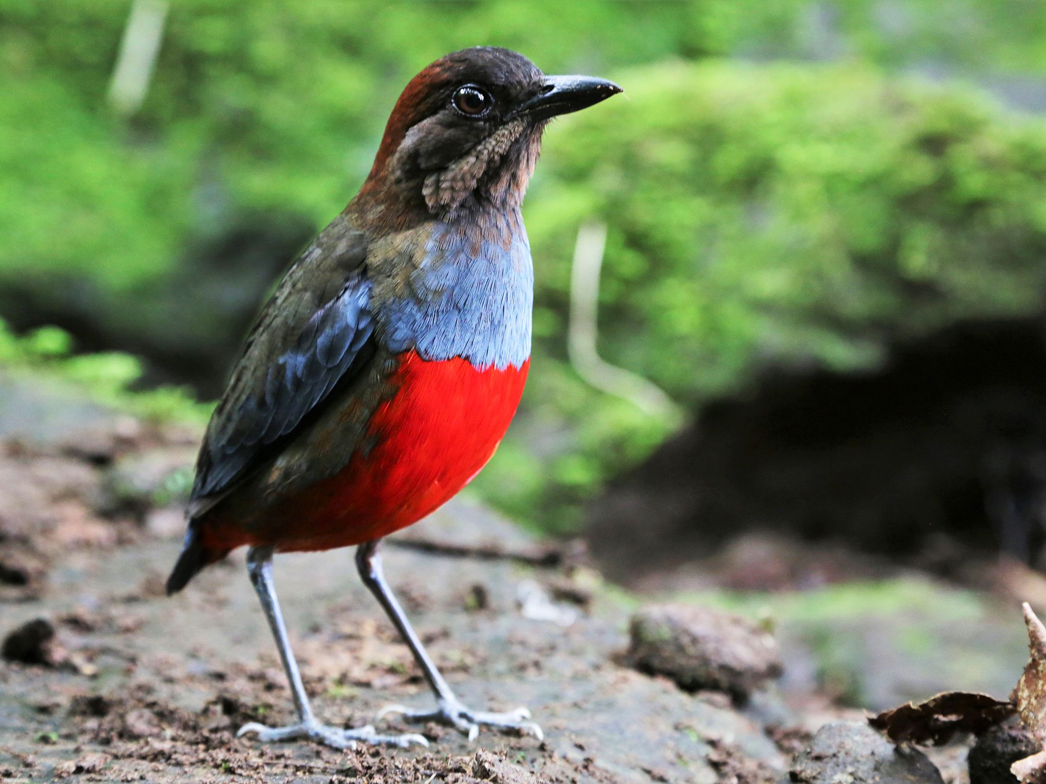 Luzon, Philippines:  Whiskered pitta.  This image is from Untamed Philippines. [Photo of the day - June 2020]