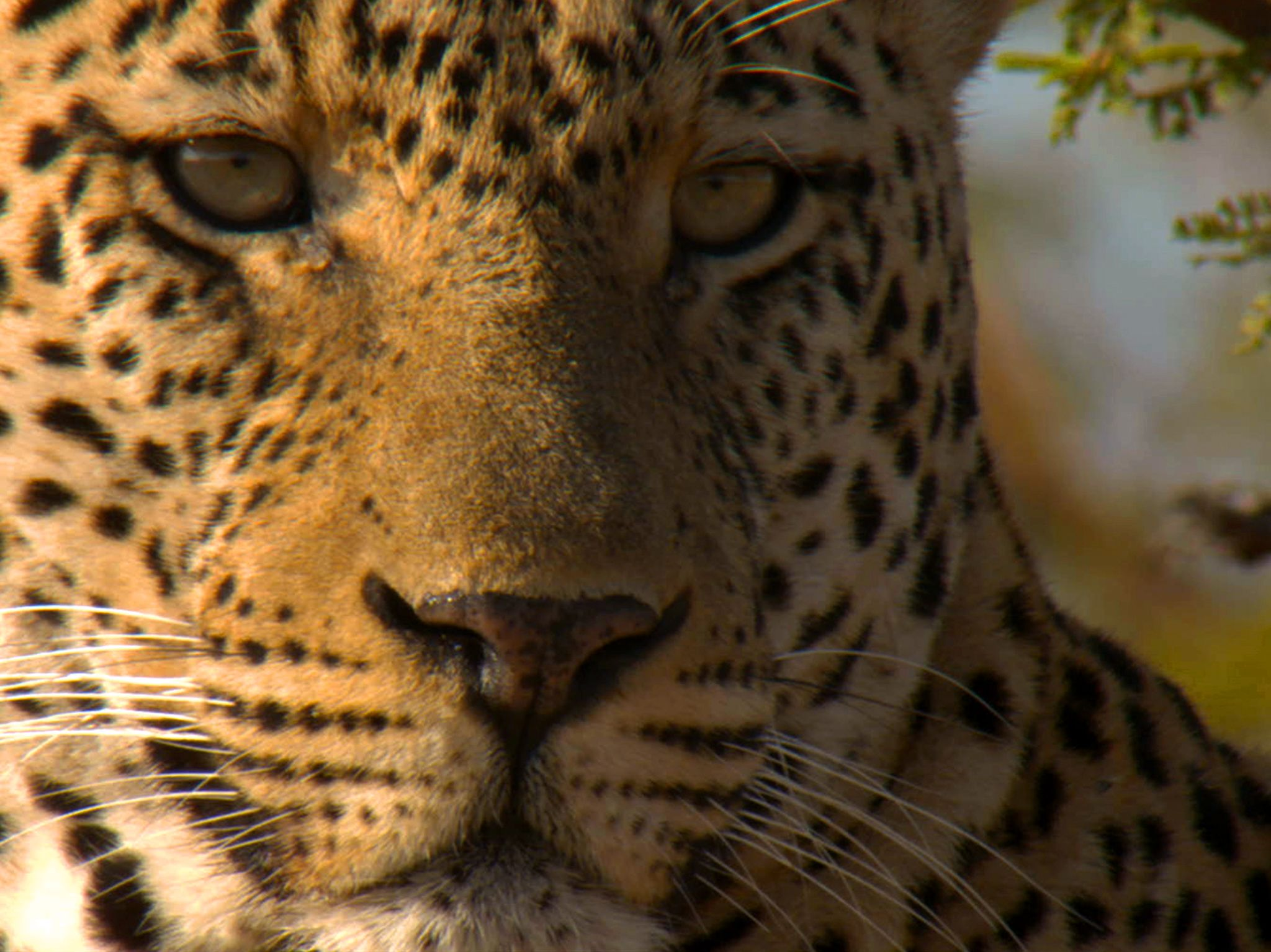 Portrait of male leopard.  This image is from Predator Land. [Photo of the day - June 2020]