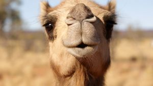 In the Outback of Australia, a feral camel poses for a picture. This image is from Out There... Photo of the day -  3 July 2020