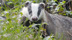 Badger in the bushes. This image is... [Photo of the day -  7 JULY 2020]