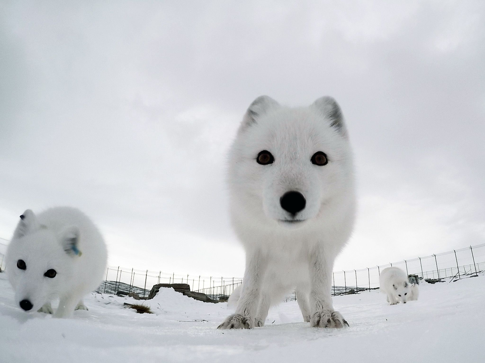 GoPro view of arctic fox in enclosure looking directly at camera. This image is from Wild... [Photo of the day - July 2020]