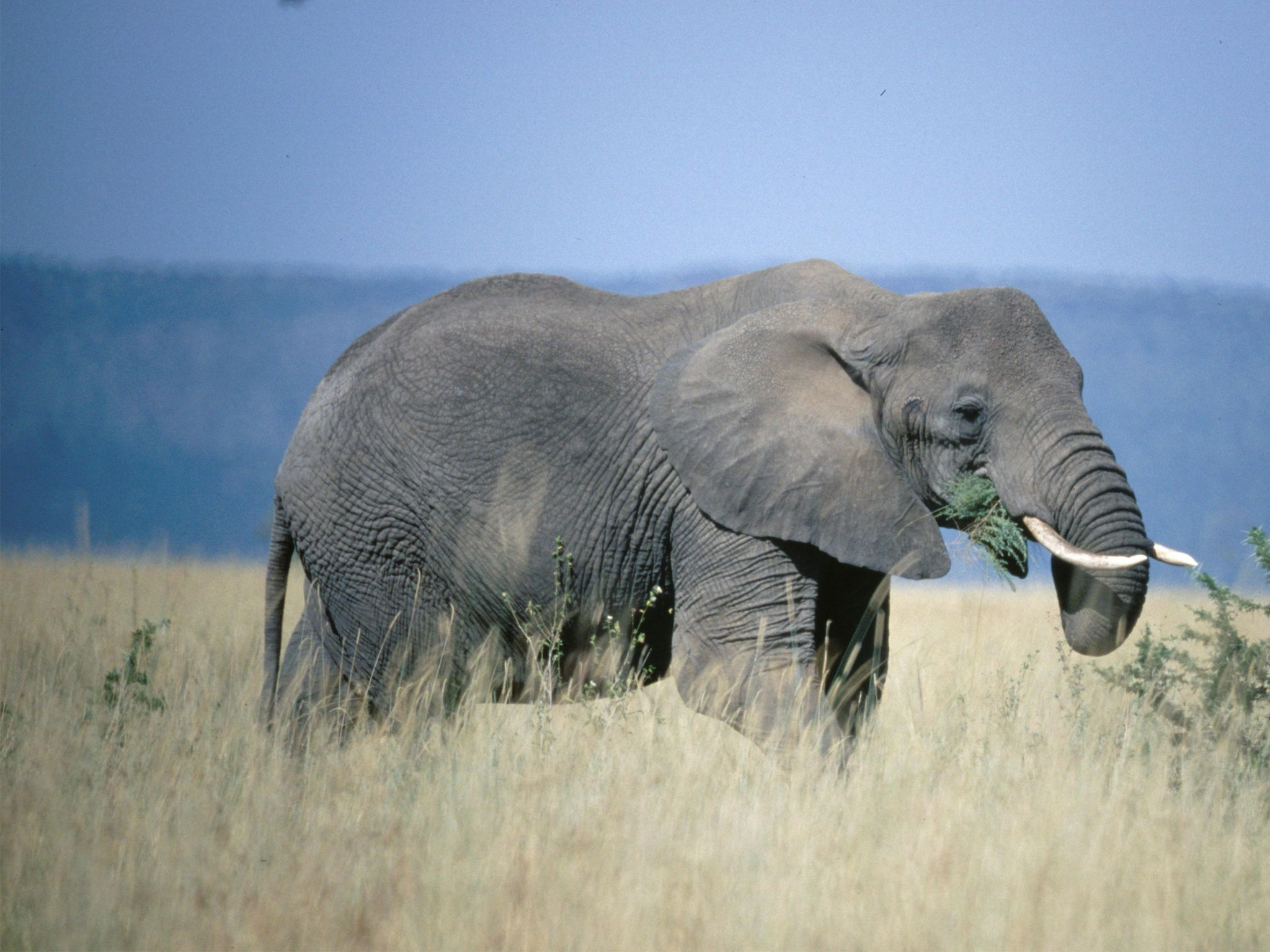African elephant eating and walking through long glass. This image is from Equator's Wild Secrets. [Photo of the day - July 2020]