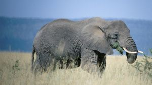 African elephant eating and walking... [Photo of the day - 11 JULY 2020]