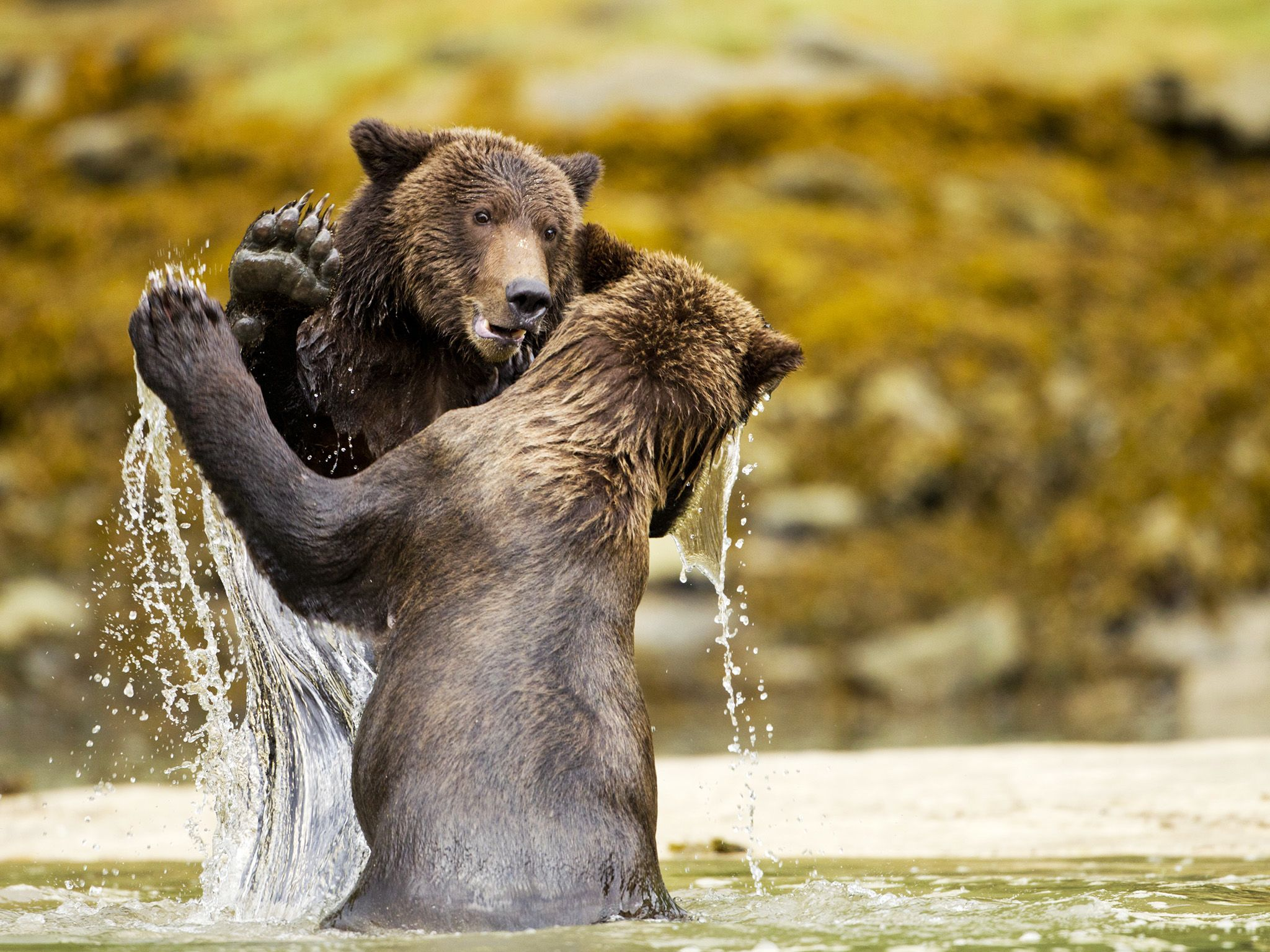 Two Coastal Brown Bears (Ursus arctos) sparring in shallow stream near Kinak Bay. This image is... [Photo of the day - August 2020]