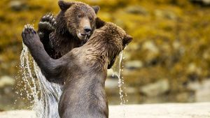 Two Coastal Brown Bears (Ursus... [Photo of the day -  1 AUGUST 2020]