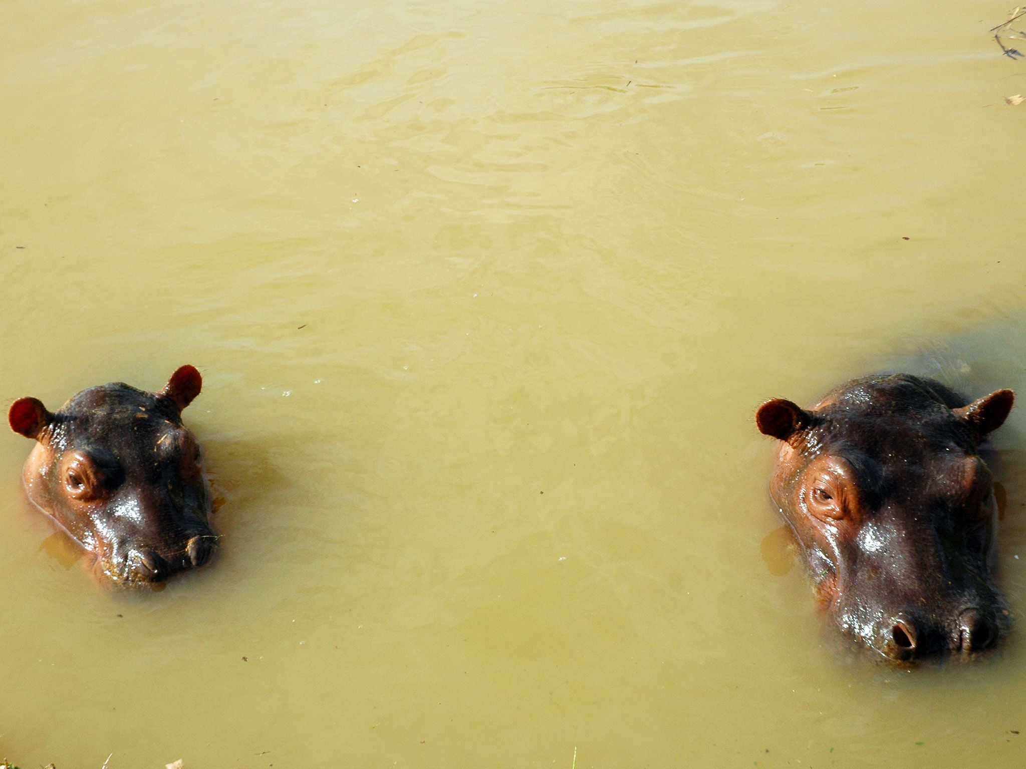 Two baby hippos in a pond, poking their heads out of the water. This image is from Invaders. [Photo of the day - August 2020]