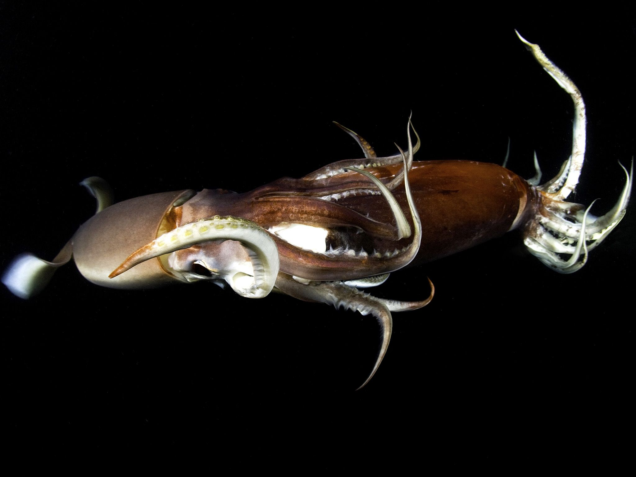 Humboldt squid eating another squid of the same species.  This image is from Animal Fight Club. [Photo of the day - August 2020]