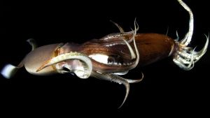 Humboldt squid eating another squid... [Photo of the day -  4 AUGUST 2020]