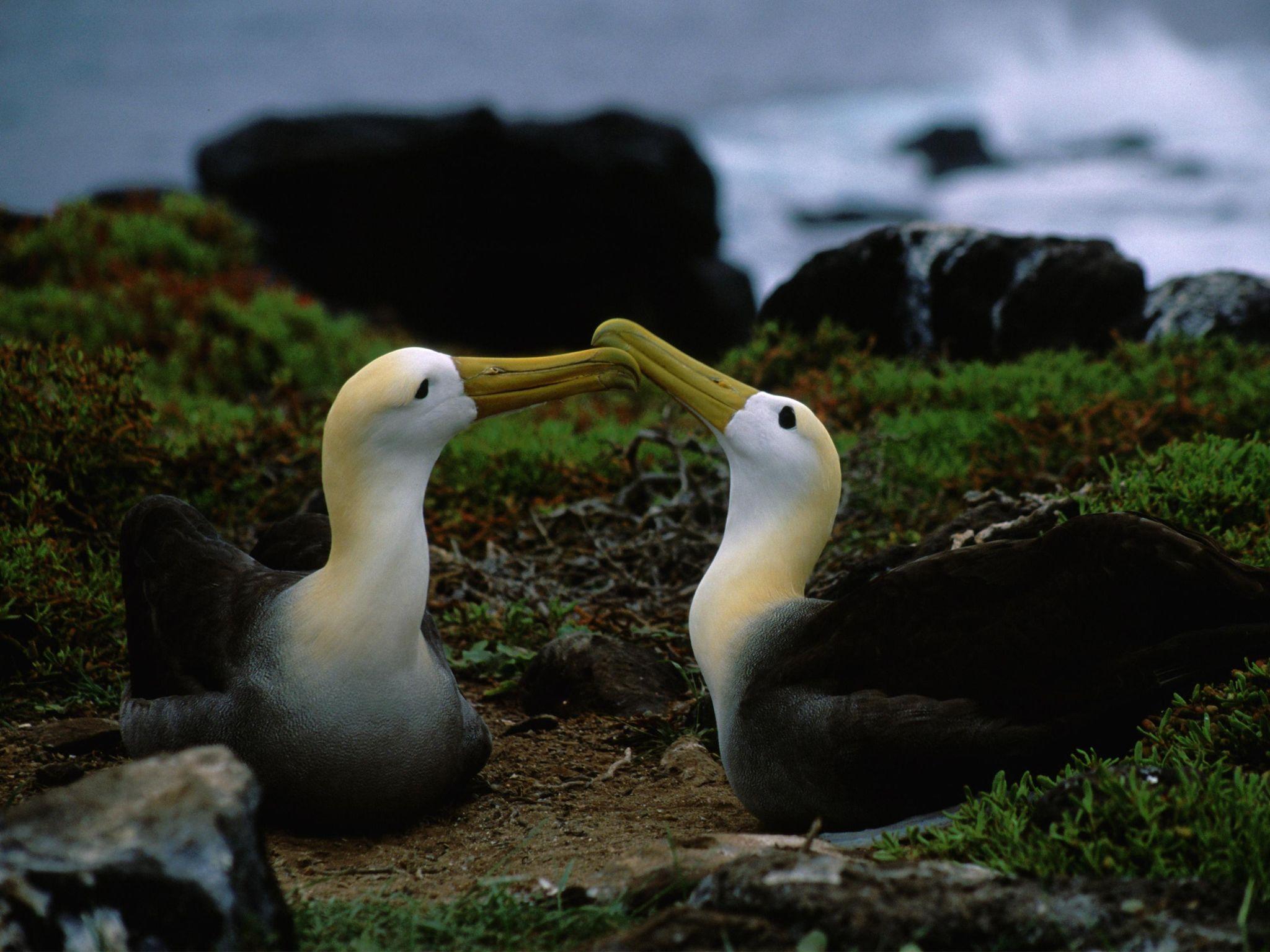 زوجان من طيور القطرس. هذه الصورة من برنامج Equator's Wild Secrets. [Photo of the day - أغسطس 2020]