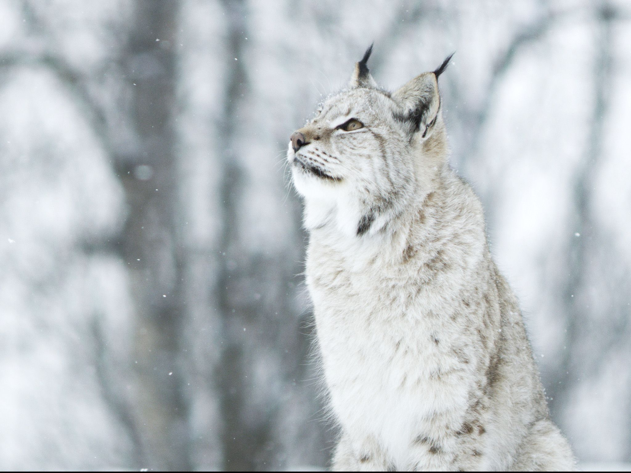Lynx in falling snow looking up. This image is from Wild Scandinavia. [Photo of the day - September 2020]