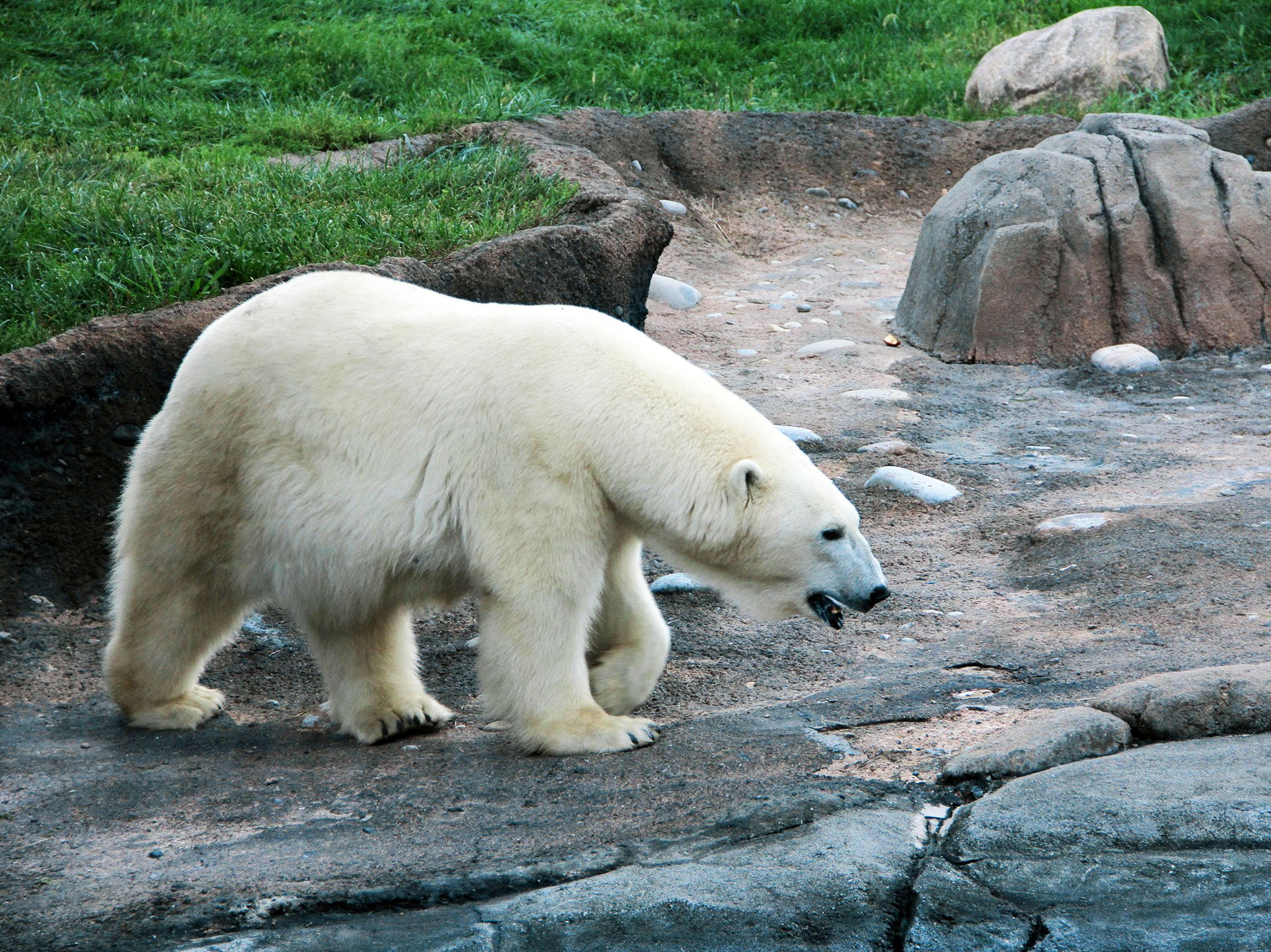 Aurora the polar bear roaming in her habitat. This image is from Secrets of the Zoo. [Photo of the day - September 2020]