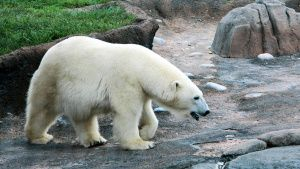 Aurora the polar bear roaming in her... [Photo of the day - 25 SEPTEMBER 2020]