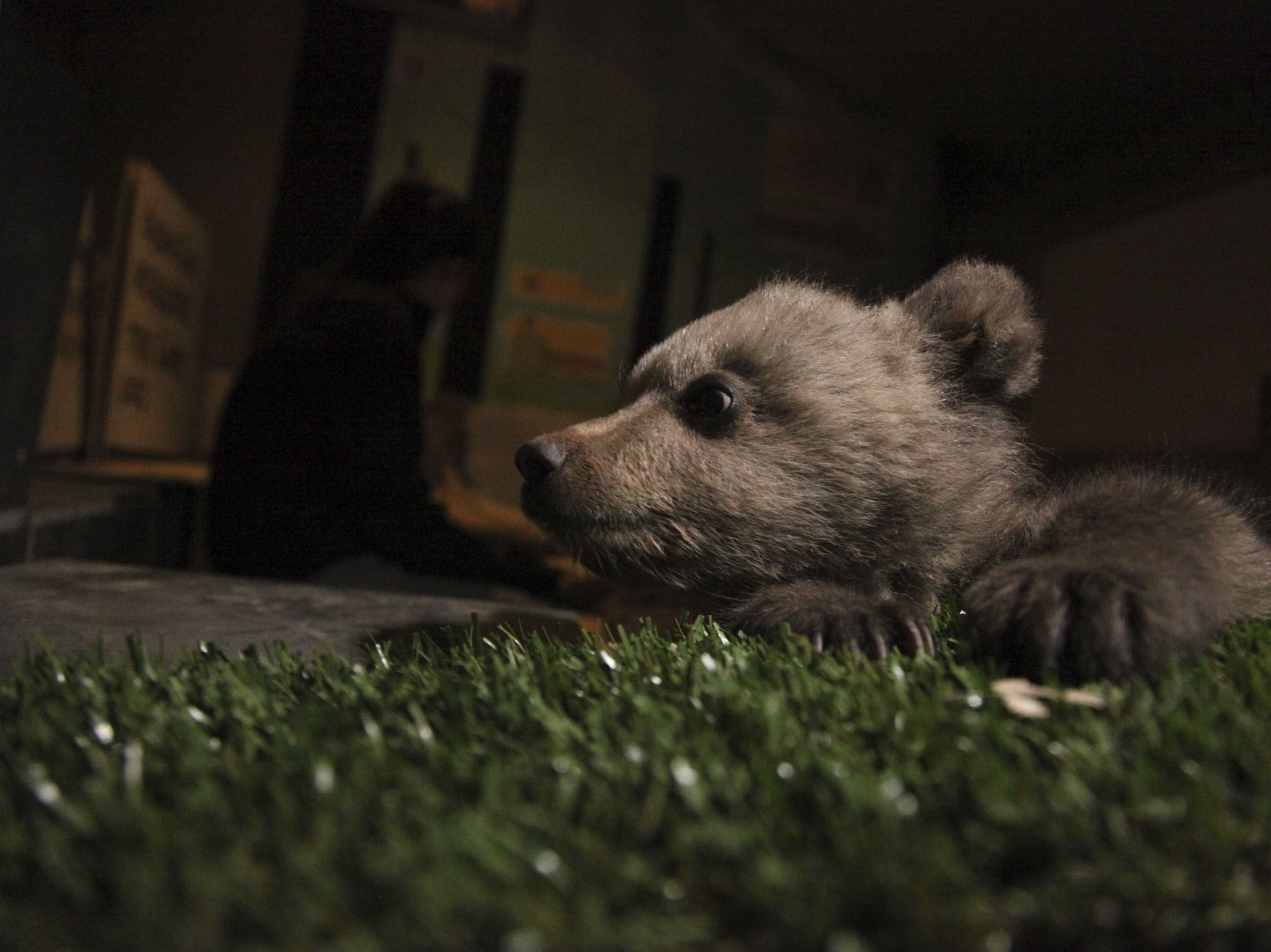 Bear cub in dark indoor enclosure. This image is from Europe's New Wild. [Photo of the day - September 2020]
