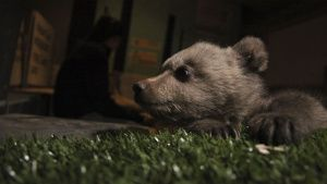 Bear cub in dark indoor enclosure.... [Photo of the day - 29 SEPTEMBER 2020]