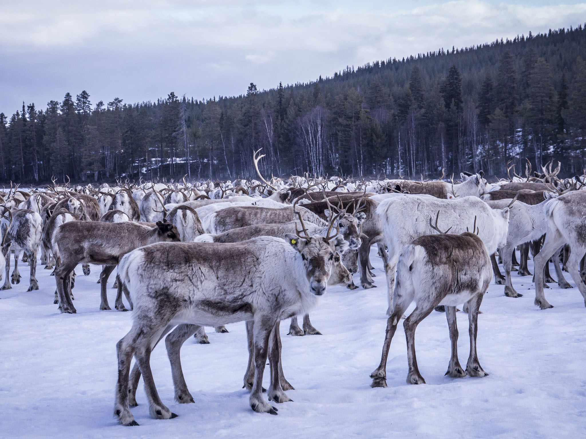 A reindeer herd. This image is from Europe's New Wild. [Photo of the day - September 2020]