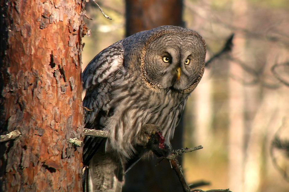 Sweden: Great Grey Owl (Strix nebulosa) is seen resting on a tree limb while its eyes are locked... [Photo of the day - May 2012]