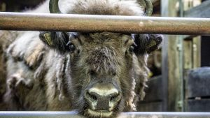 Bison at the Berlin Zoo. This image... [Photo of the day - 18 SEPTEMBER 2020]