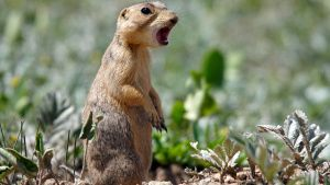Prairie Dog gives an alarm call.... [Photo of the day - 20 SEPTEMBER 2020]