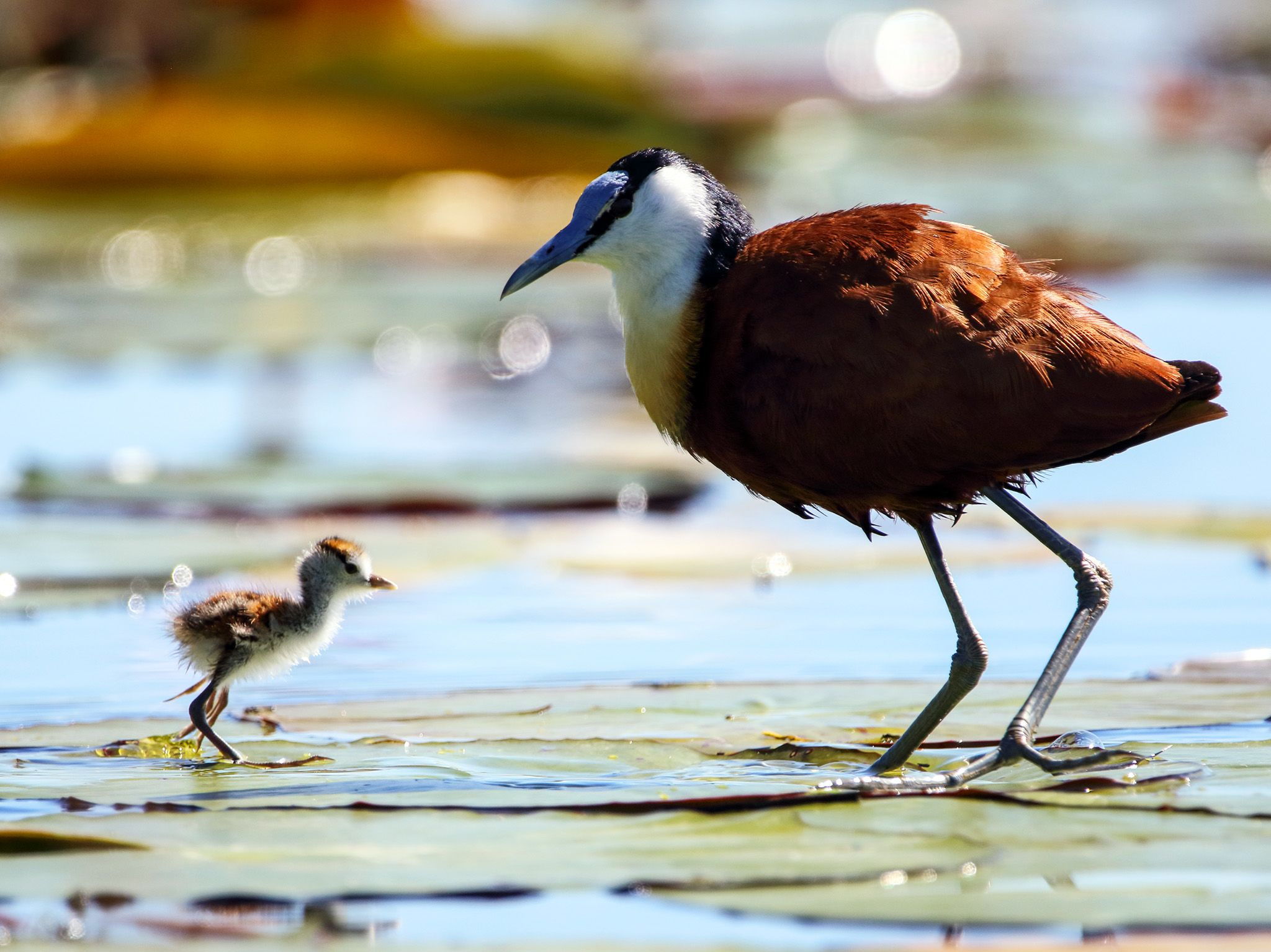 A male Jacana watches as its young chick crosses the mat of Lilly pads that cover one of the... [Photo of the day - October 2020]