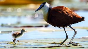 A male Jacana watches as its young... [Photo of the day -  2 OCTOBER 2020]