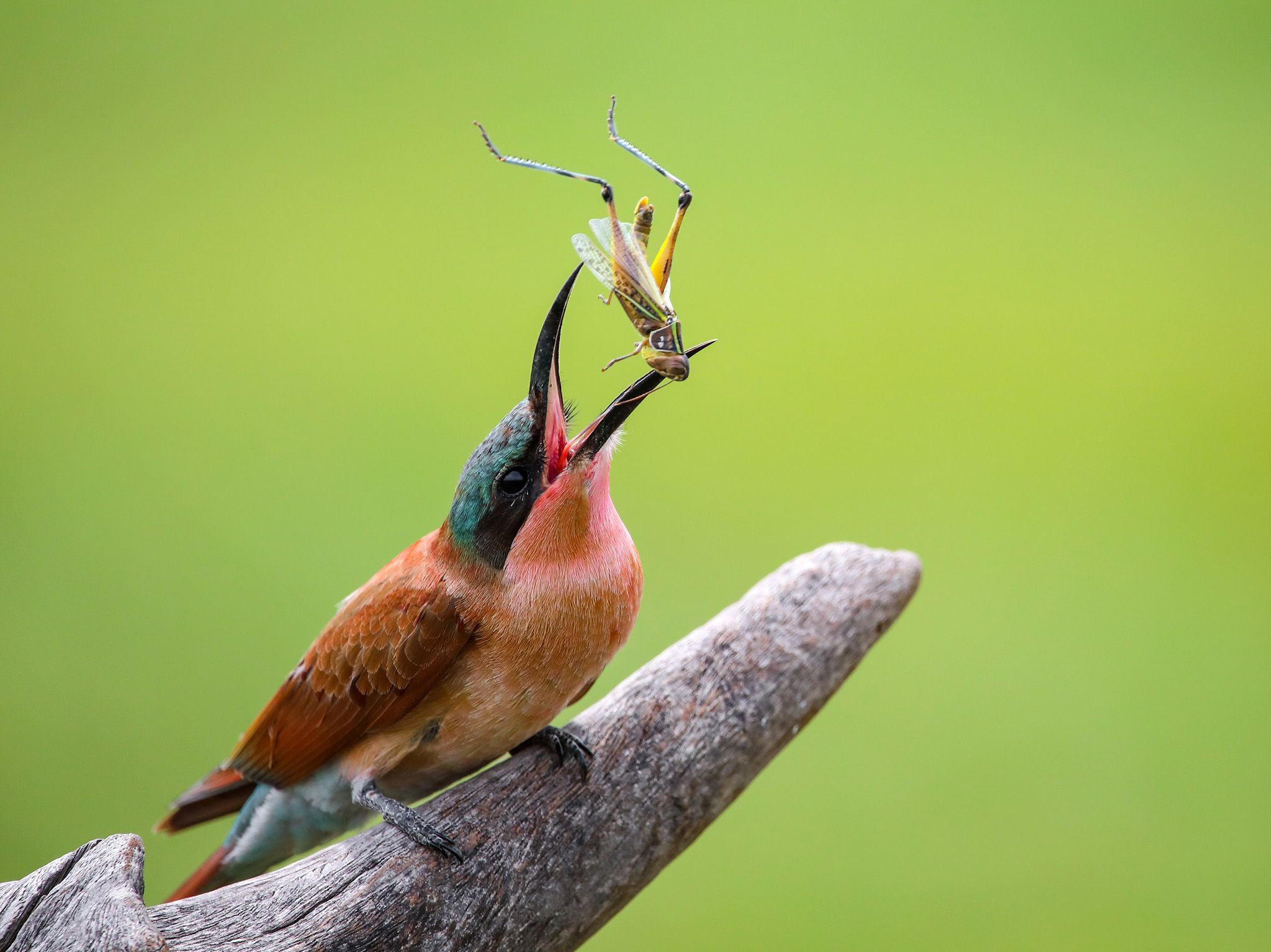 A Carmine Bee-eater tosses a grasshopper into the air, rearranging it to knock off the sharp... [Photo of the day - October 2020]