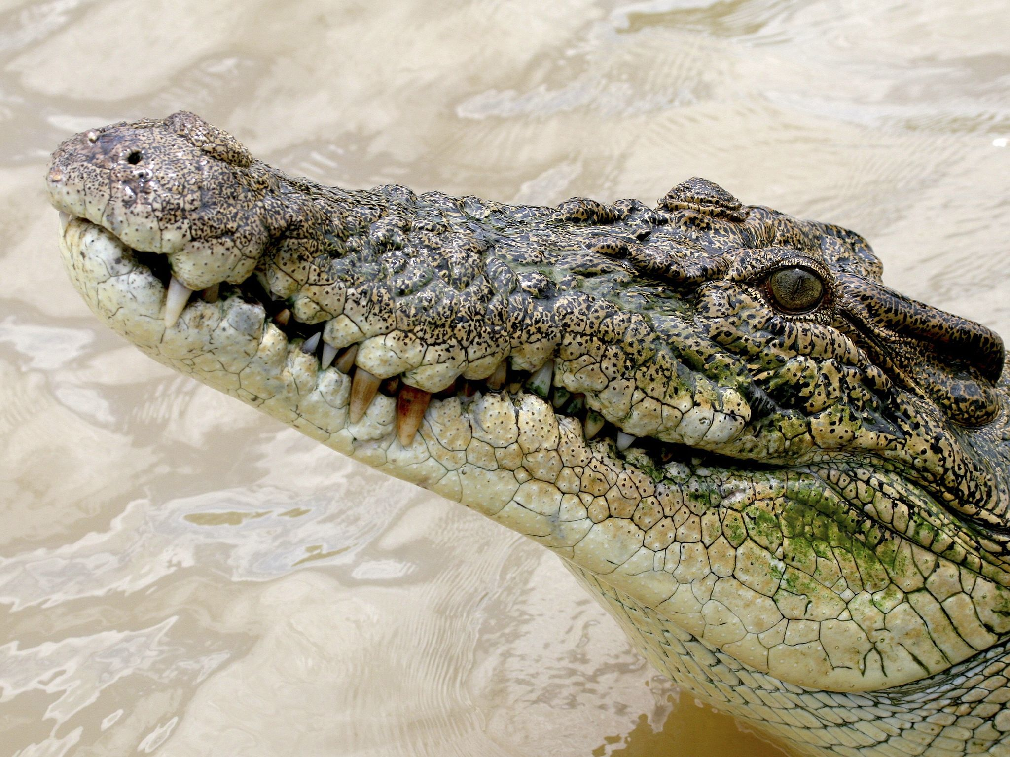 Adult saltwater crocodile eyes a potential meal. It is the largest reptile on Earth and rules... [Photo of the day - October 2020]