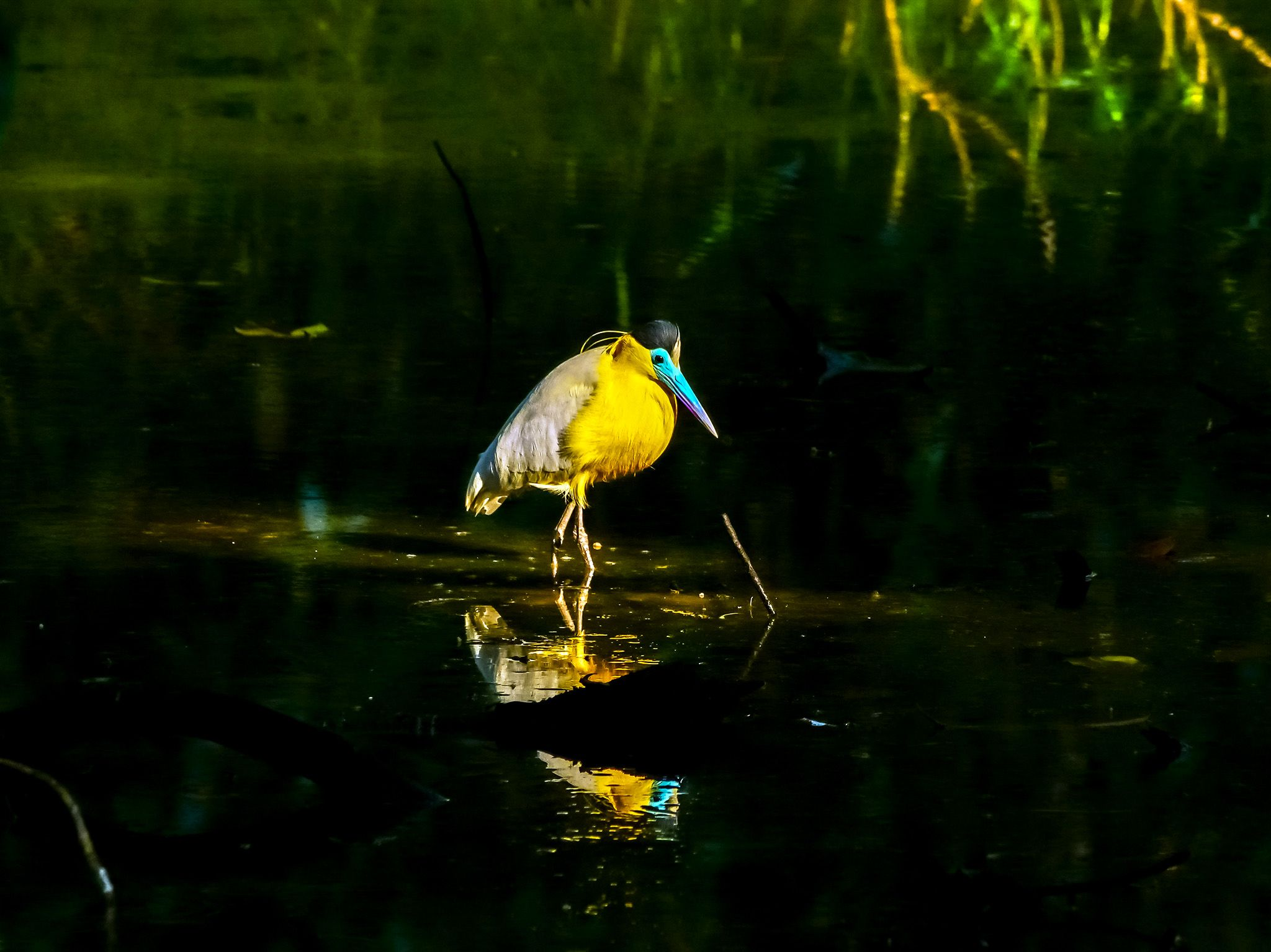 Capped heron in pond. This image is from Wild Peru: Andes Battleground. [Photo of the day - October 2020]