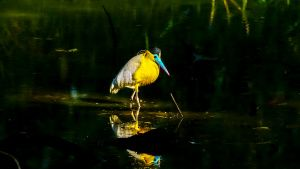 Capped heron in pond. This image is... [Photo of the day - 17 OCTOBER 2020]
