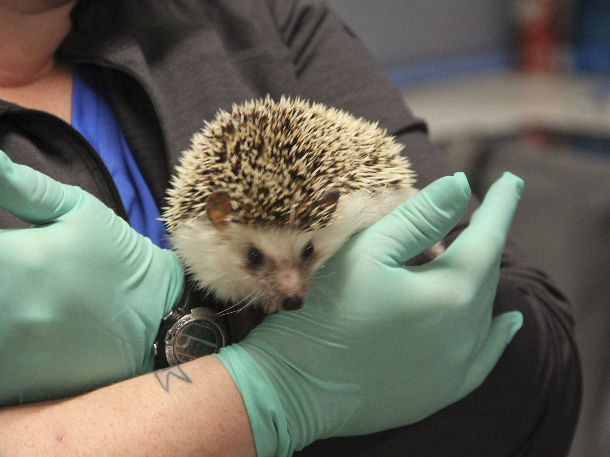 Veterinary Technician Maryanne Farmer holds Miss Deedee the hedgehog. This image is from Dr. T... [Photo of the day - October 2020]
