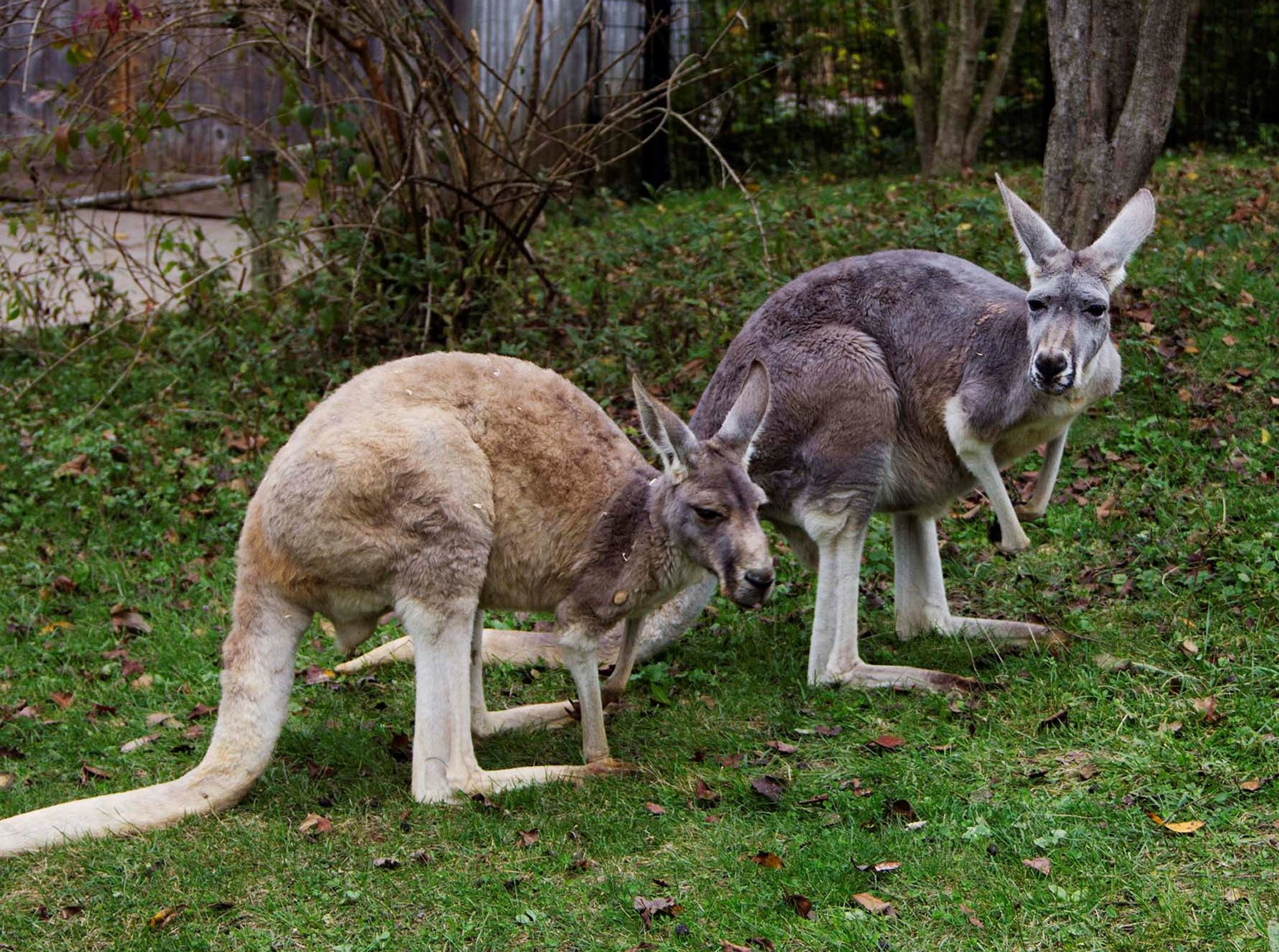 Two kangaroos enjoying the outdoors at the zoo's Australian exhibit. This image is from Secrets... [Photo of the day - October 2020]