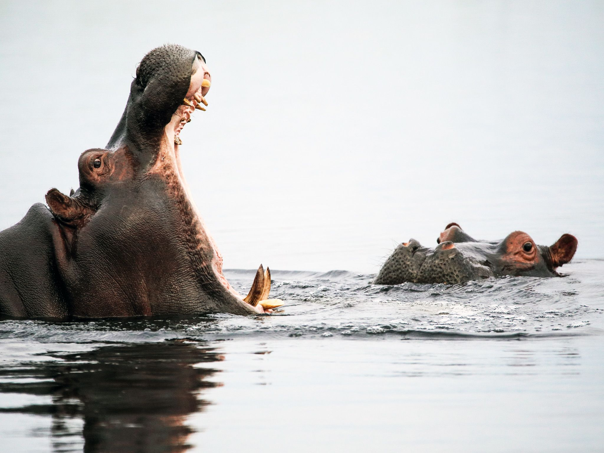 A male hippo attempts to impress a female as it opens its mouth wide showing off it large teeth.... [Photo of the day - October 2020]