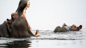 A male hippo attempts to impress a... [Photo of the day - 23 OCTOBER 2020]