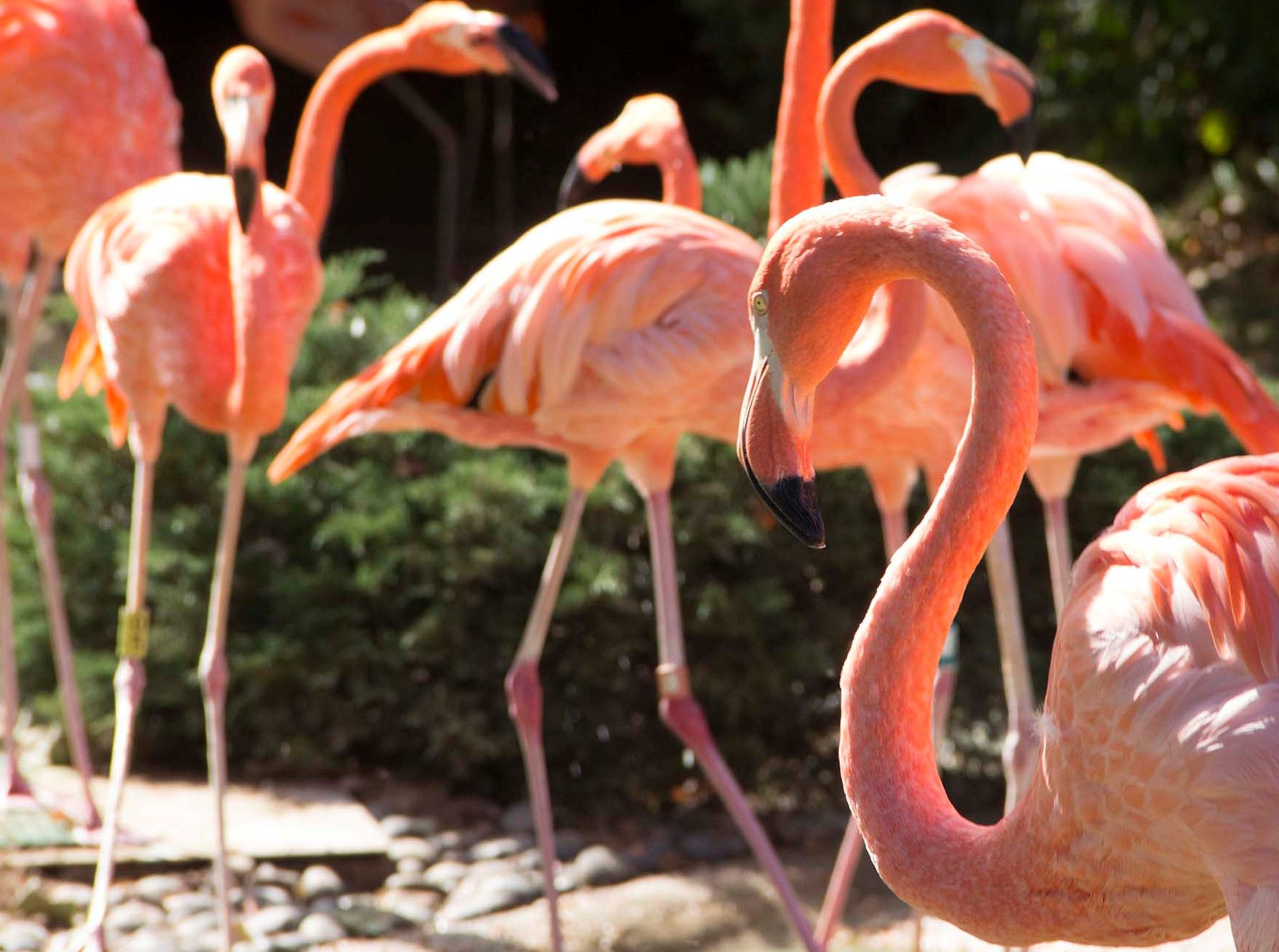 A flock of flamingos in their enclosure at the Columbus Zoo. This image is from Secrets of the Zoo. [Photo of the day - October 2020]