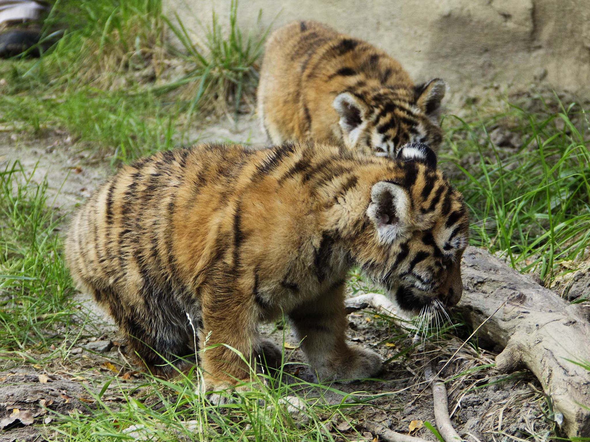 نمرٌ صغير يستكشف حظيرة النمور في حديقة حيوان... [Photo of the day - أكتوبر 2020]