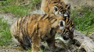 Tiger cub exploring the tiger yard... [Photo of the day - 27 OCTOBER 2020]