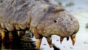 An adult saltwater crocodile killed... [Photo of the day - 30 OCTOBER 2020]