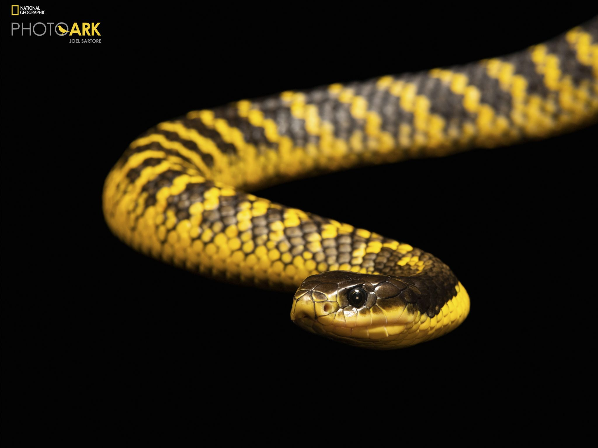 Western tiger snake, Notechis scutatus occidentalis, from a private collection. This image is... [Photo of the day - November 2020]