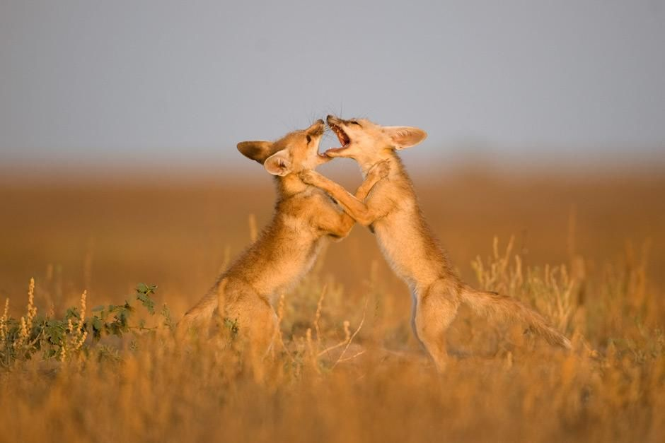 Gir National Park, Gujarat, India: Two Desert Foxes wrestle with one another under the fading... [Photo of the day - May 2012]