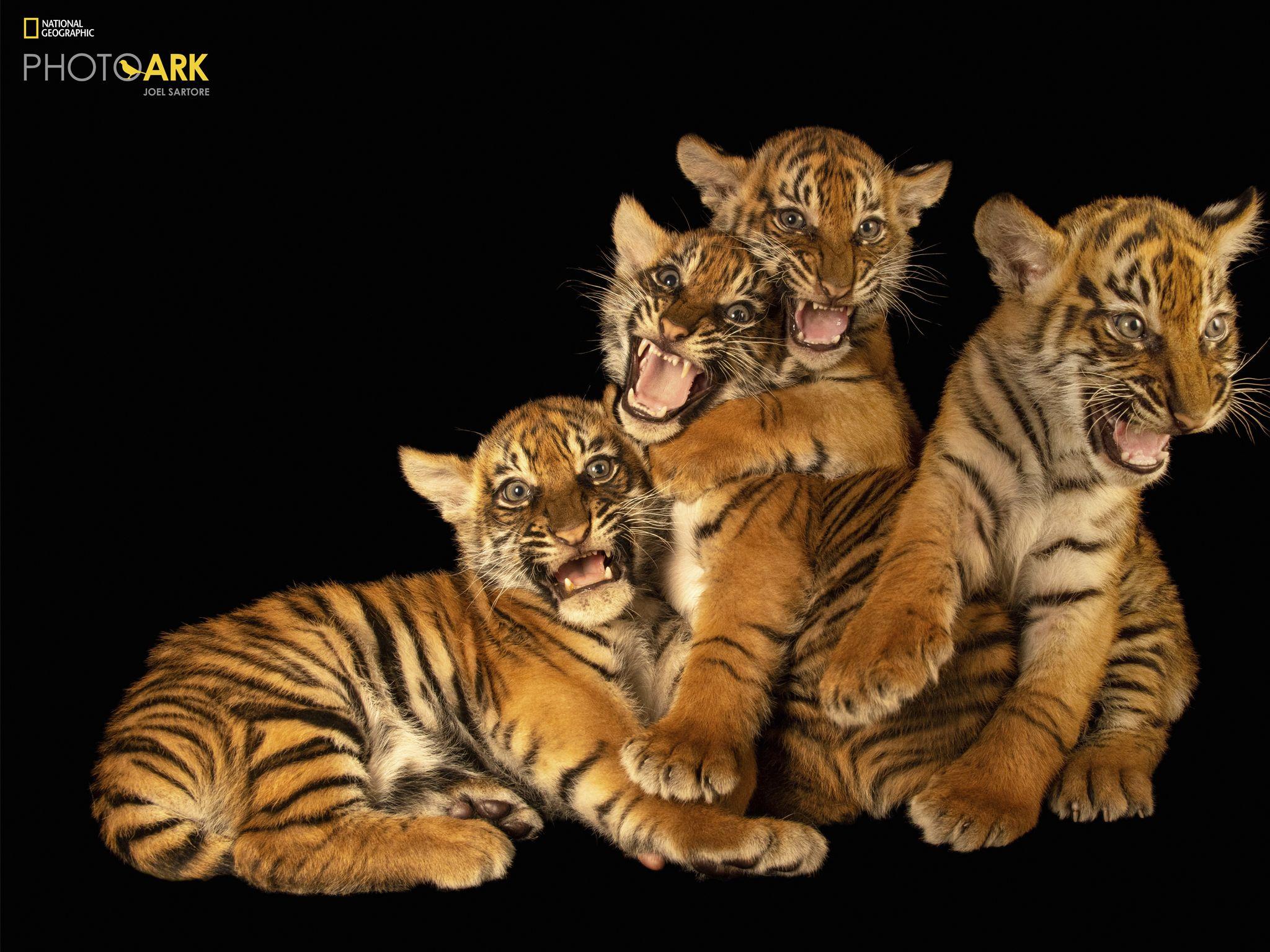أربعة ببراوات من جزيرة سومطرة ( Panthera tigris sumatrae) في... [Photo of the day - نوفمبر 2020]