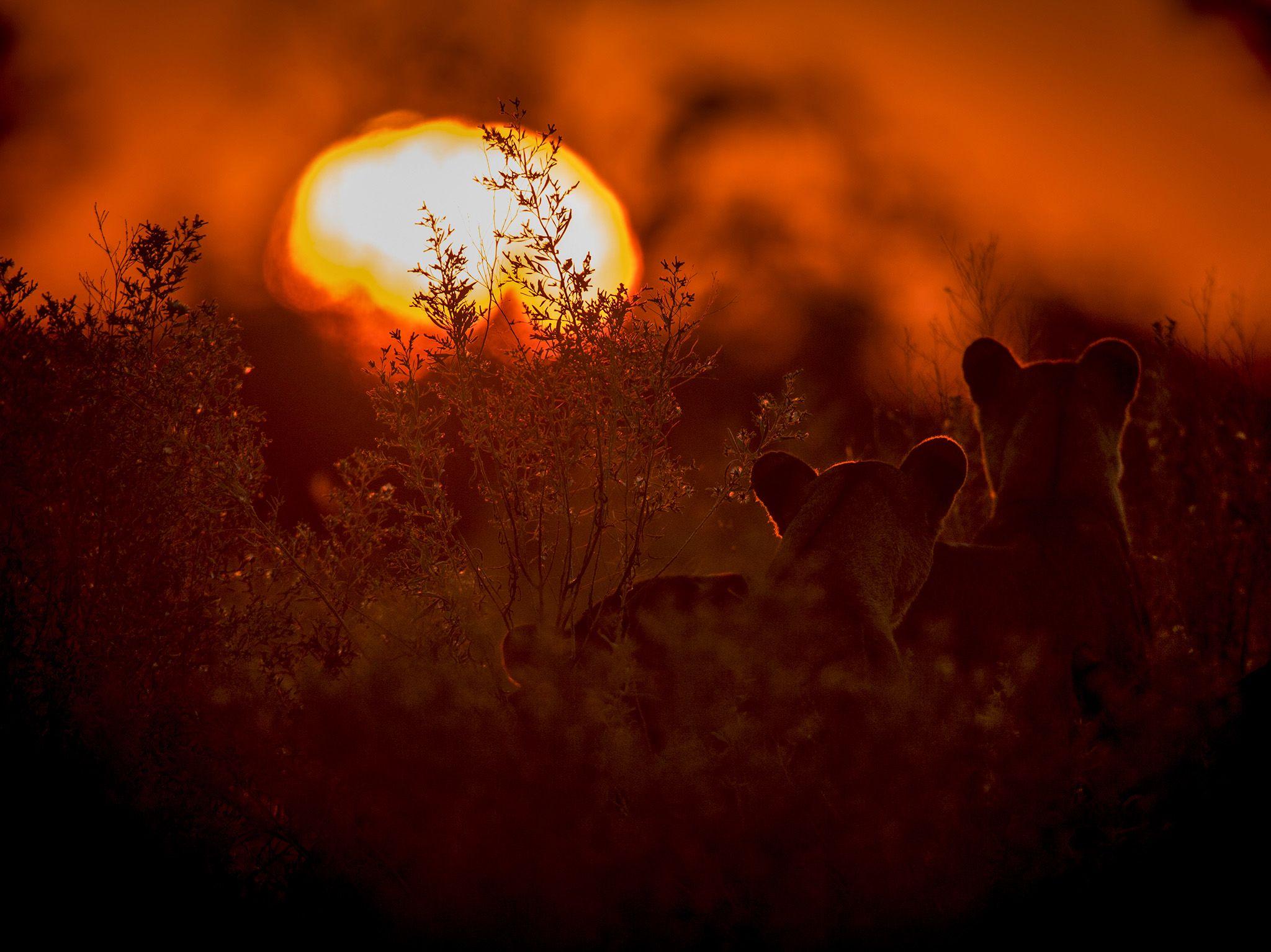 سيليندا ريسيرف، بوتسوانا:  هي لبؤة أم وصغيرتها (من... [Photo of the day - نوفمبر 2020]
