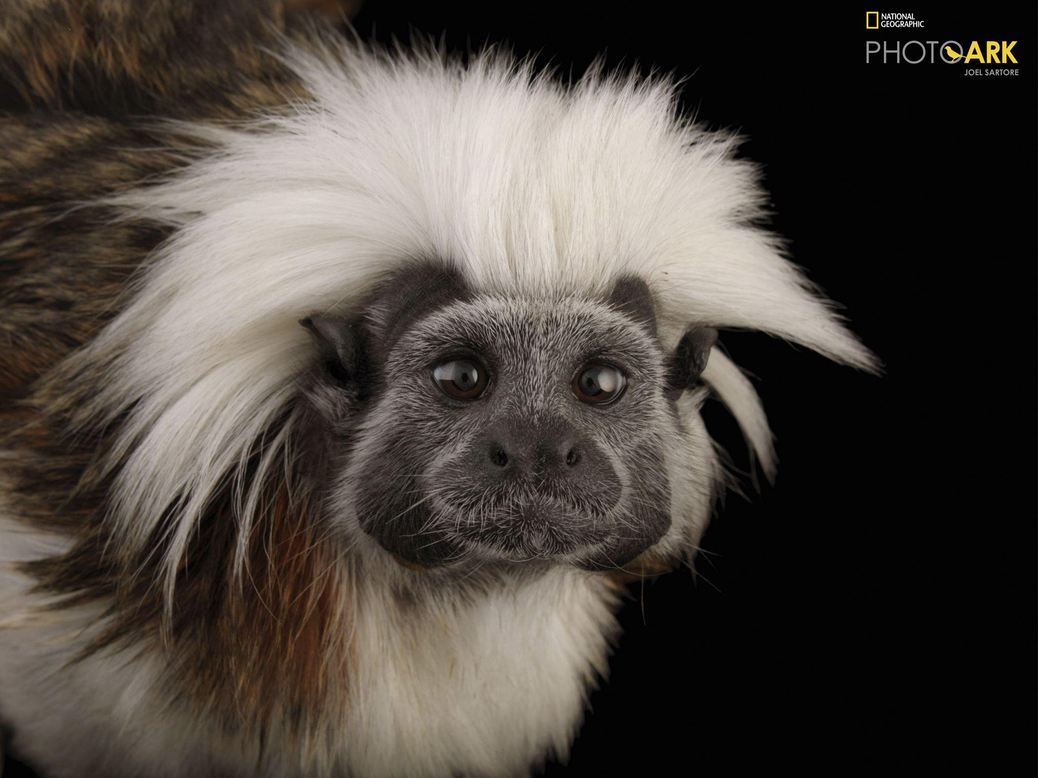 قرد تمارين قطني الرأس المهدد بالانقراض (Saguinus oedipus) في... [Photo of the day - نوفمبر 2020]