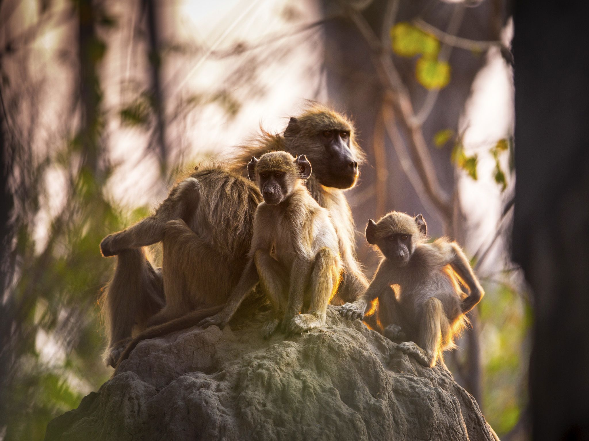 A family of baboons sit a top a termite mound with the last light of day approaching. Termites... [Photo of the day - November 2020]
